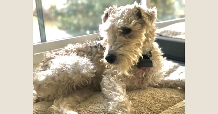 Photo of Shadow, a Wire Fox Terrier  in Brumley, MO, USA