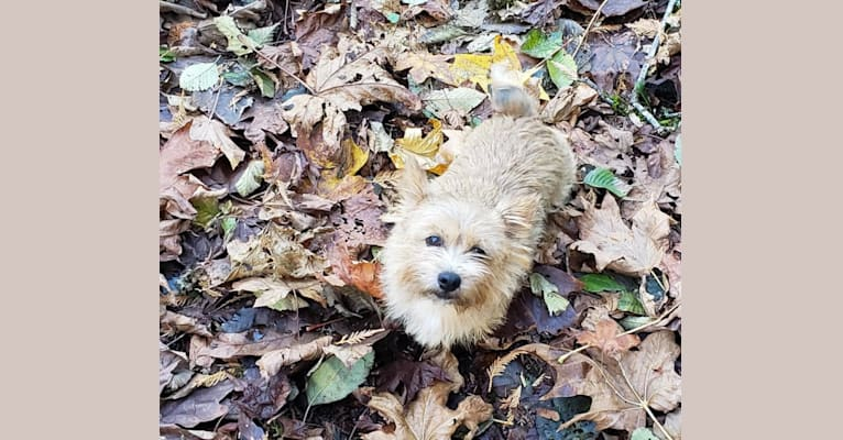 Photo of Diana, a Norwich Terrier  in North Bend, Washington, USA