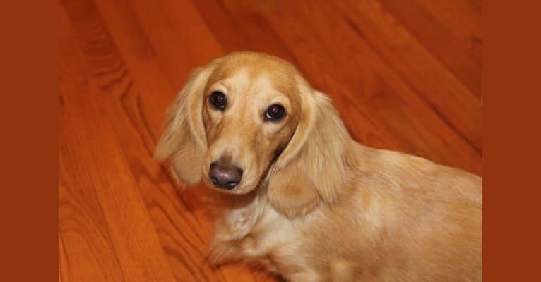 Photo of Oliver (Ollie) von Frederick, a Dachshund  in Durham, NC, USA
