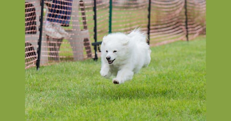 Photo of Rhett, an American Eskimo Dog  in Elmhurst, IL, USA