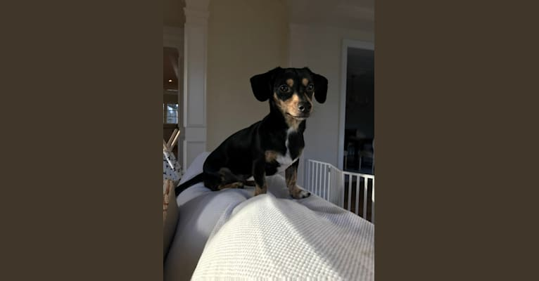 Photo of Marlee, a Dachshund, Chihuahua, and Pomeranian mix in St. Louis, MO, USA