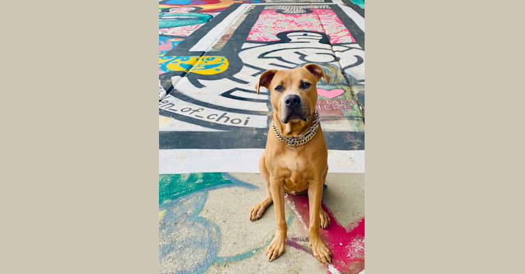 Photo of Gray, an American Pit Bull Terrier  in Atlanta, GA, USA