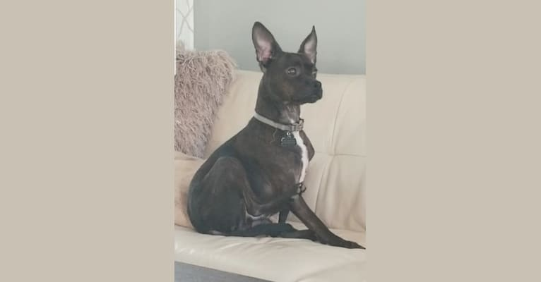 Photo of Axle, a Boston Terrier, Miniature Pinscher, and Cocker Spaniel mix in Mooresville, North Carolina, USA
