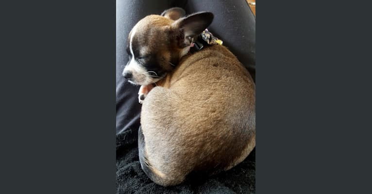 Photo of Cornelius, a Pug, Chihuahua, and Mixed mix in Bakersfield, California, USA