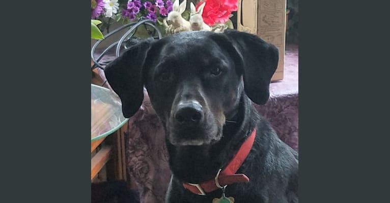 Photo of Buddy, a Rottweiler, Labrador Retriever, and Doberman Pinscher mix