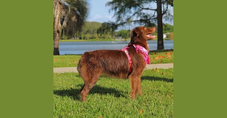 Photo of Layla, an Australian Shepherd Group  in Ocala, FL, USA