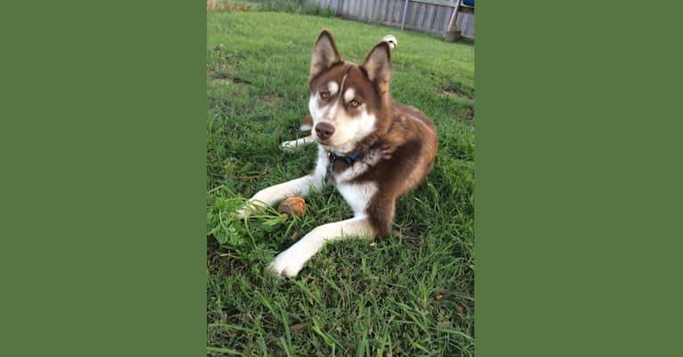 Photo of Merle, a Siberian Husky, Boxer, and Alaskan Malamute mix in Texas, USA