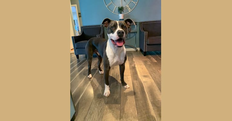 Photo of Romeo, an American Pit Bull Terrier  in Flint, Michigan, USA