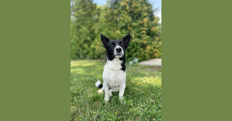 Photo of Maizee, a Pembroke Welsh Corgi, Border Collie, and Russell-type Terrier mix in Petrolia, Ontario, Canada