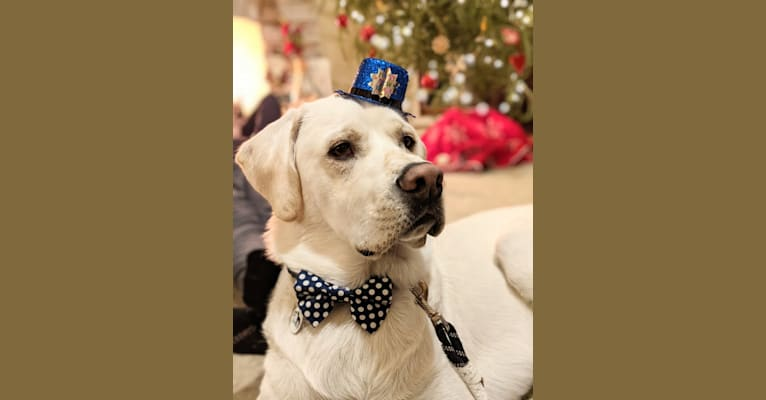 Photo of Jack Frost, a Great Pyrenees and Labrador Retriever mix in Batavia, Illinois, USA
