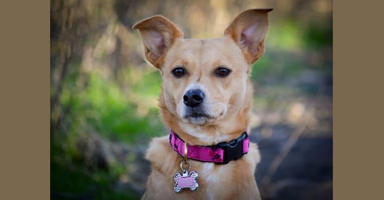 Photo of Zoe, an Australian Cattle Dog, Rat Terrier, and Australian Kelpie mix in Klamath Falls, Oregon, USA