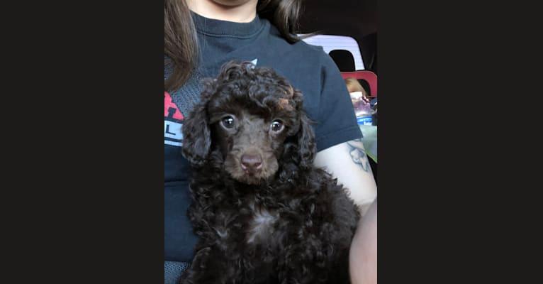 Photo of Rusty, a Poodle (Small)  in 16085 U.S. 278, Brilliant, AL, USA