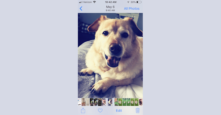 Photo of Seamus, a Chow Chow, Rat Terrier, Dachshund, and Mixed mix in South Carolina, USA