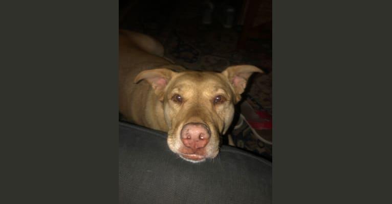 Photo of Ginger, an American Pit Bull Terrier, Labrador Retriever, Bullmastiff, Siberian Husky, German Shepherd Dog, and Mixed mix in Redlands, California, USA