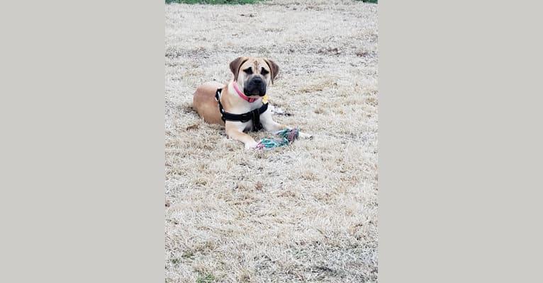 Photo of SOPHIA, a Boerboel  in Fayetteville, North Carolina, USA