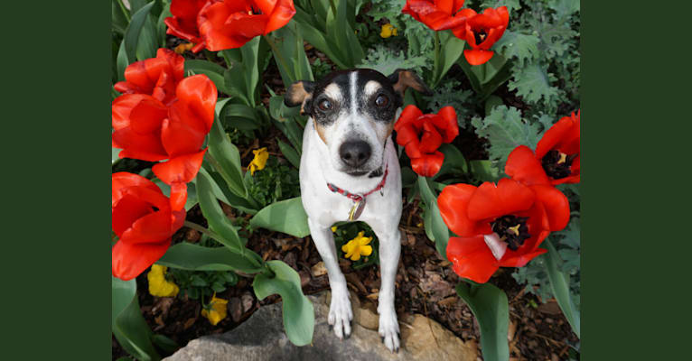 Photo of Checkers, a Rat Terrier  in Roswell, Georgia, USA