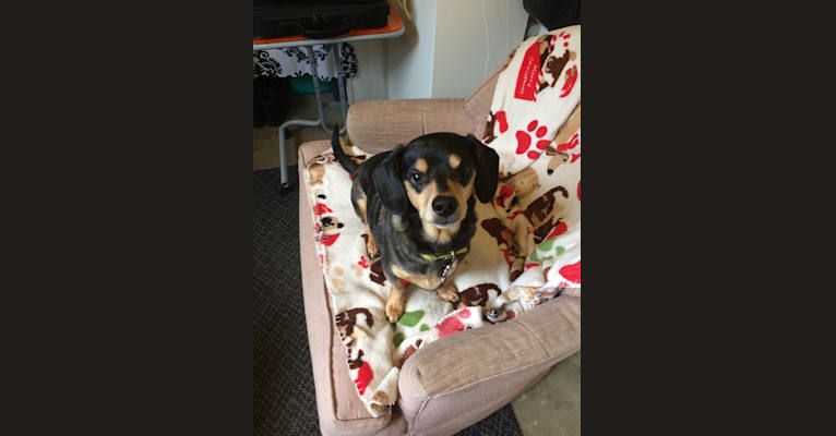Photo of Veener, a Dachshund and Chihuahua mix in Harrison, Michigan, USA