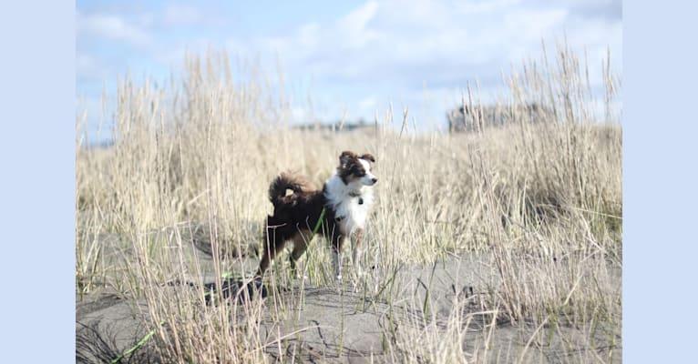 Photo of Ludo, an Australian Shepherd Group  in Tonasket, WA, USA