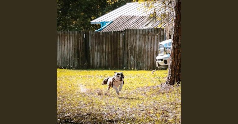 Photo of Minion, a French Bulldog and Bulldog mix