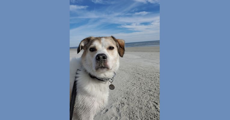 Photo of Ollie, a Beagle, Poodle (Small), Great Pyrenees, and Mixed mix in Kentucky, USA