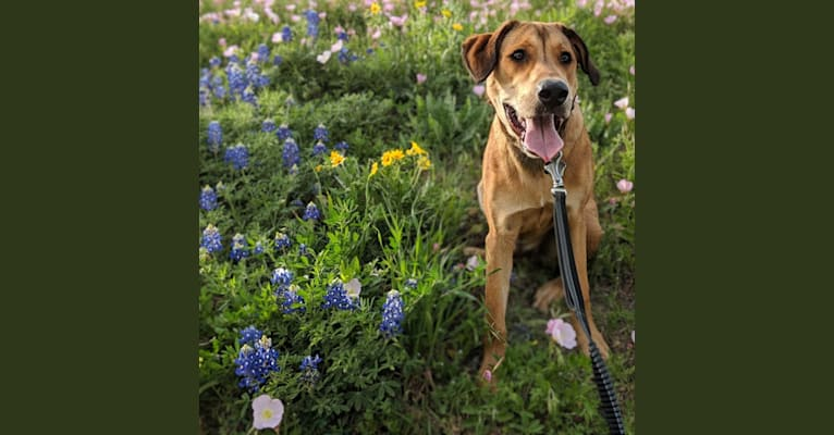 Photo of Riggins, a Labrador Retriever, Rottweiler, and American Pit Bull Terrier mix in Austin, TX, USA