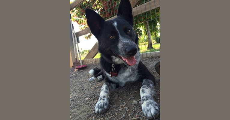 Photo of Charlie, a Border Collie, Australian Cattle Dog, Australian Shepherd, and English Shepherd mix