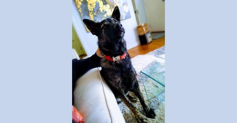 Photo of Frank, a Siberian Husky, German Shepherd Dog, and Alaskan Malamute mix in Waterloo, Iowa, USA