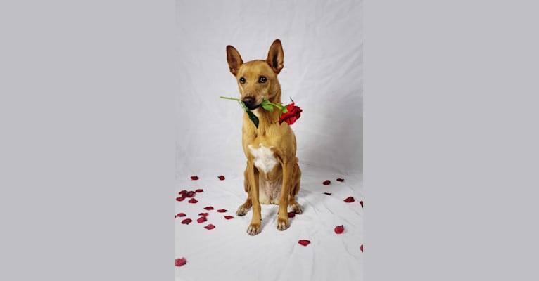 Photo of Kiara, a German Shepherd Dog, American Pit Bull Terrier, Rottweiler, Cocker Spaniel, Boxer, and Collie mix in Savannah, Georgia, USA