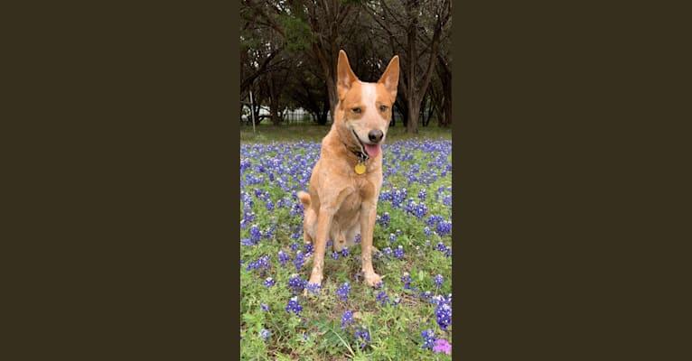 Photo of Mojo, an Australian Cattle Dog and Siberian Husky mix in Texas, USA