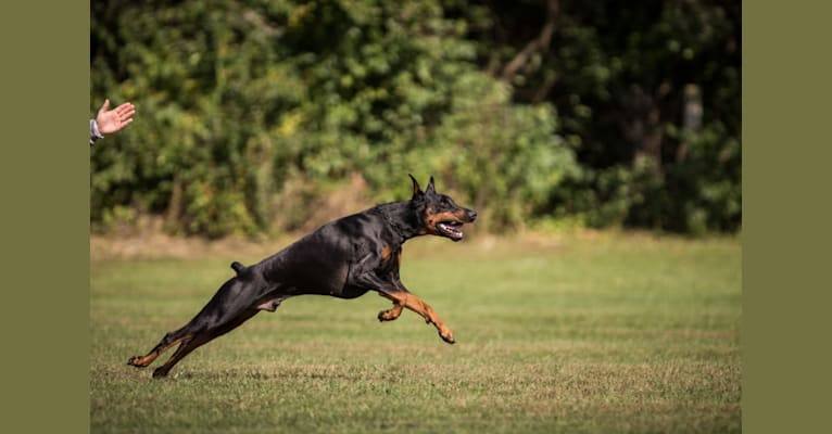 Photo of Magnus, a Doberman Pinscher  in Bowling Green, KY, USA