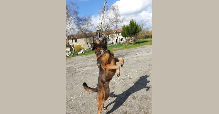 Photo of Alfie, a Belgian Malinois and Rottweiler mix in France