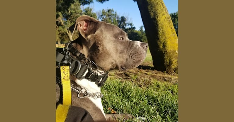 Photo of MaSiWei, an American Bully  in Fairfield, California, USA