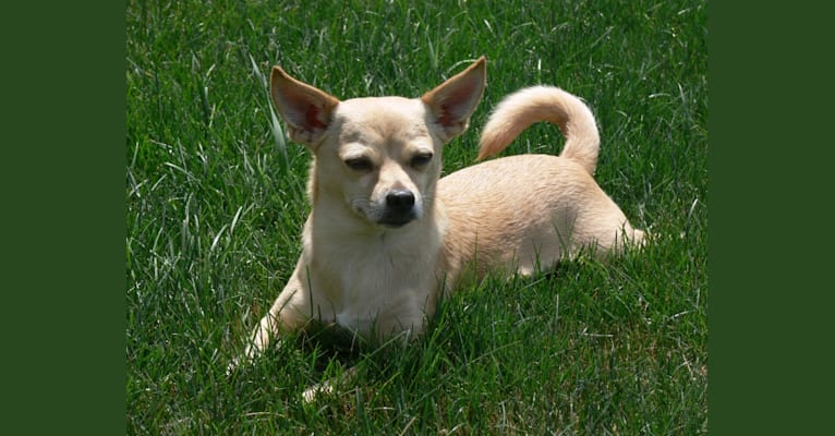 Photo of Nigel, a Shih Tzu, Miniature Pinscher, Chihuahua, Pomeranian, and Maltese mix in Fairport, New York, USA