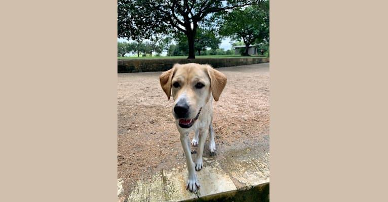 Photo of Mango, a Labrador Retriever, Great Pyrenees, and Mixed mix in Austin, Texas, USA