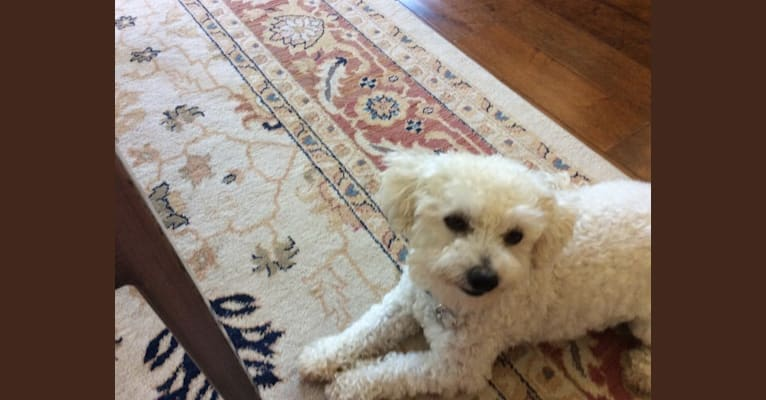 Photo of Windsor, a Poodle (Small), Chihuahua, and Mixed mix in Carlsbad, California, USA