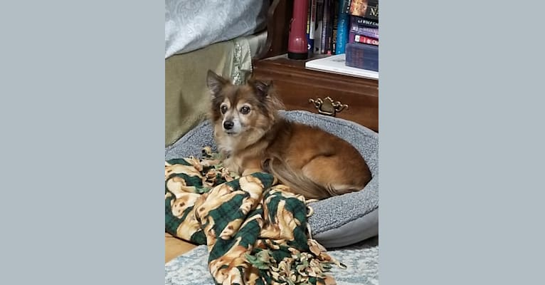 Photo of Max, a Chihuahua  in Ohio, USA