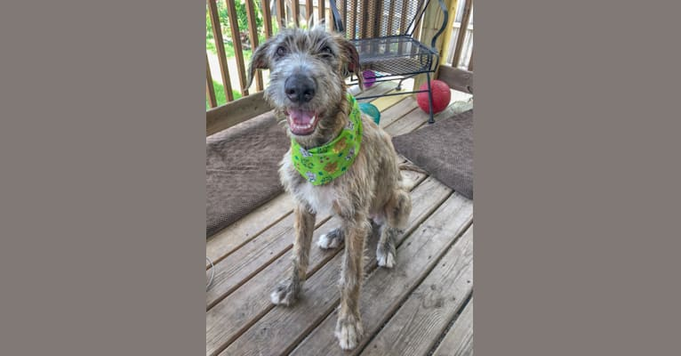 Photo of Beatrice, an Irish Wolfhound  in Fayetteville, AR, USA