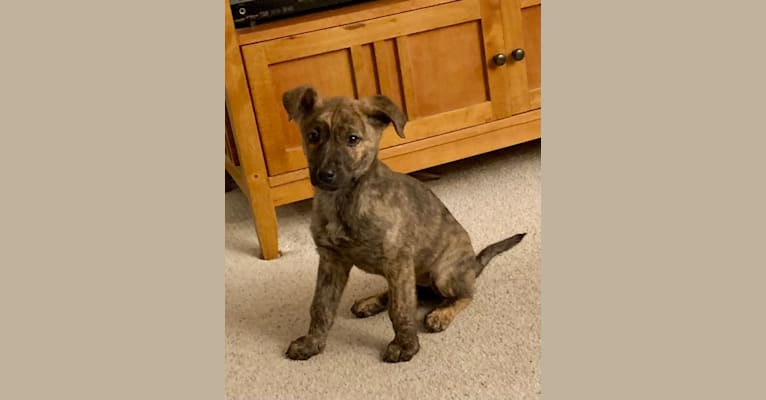 Photo of Rory, a German Shepherd Dog and American Pit Bull Terrier mix in San Diego, California, USA