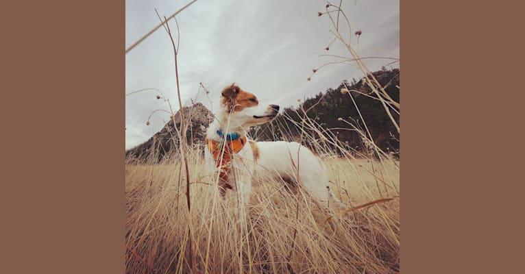 Photo of Atlas, an Australian Cattle Dog, German Shepherd Dog, Labrador Retriever, Great Pyrenees, Miniature Schnauzer, and Mixed mix in Midland, Texas, USA