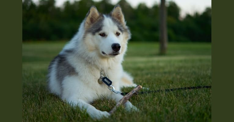 Photo of Maui, a Siberian Husky, Alaskan Malamute, and Canadian Eskimo Dog mix in North Bay, ON, Canada