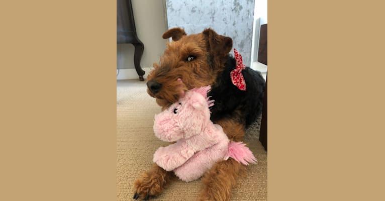 Photo of BRYN, a Welsh Terrier