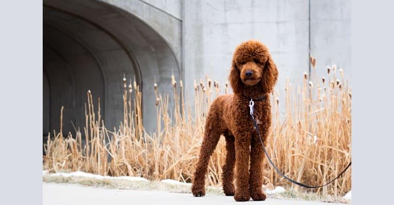 Photo of Felix, a Poodle (Standard)