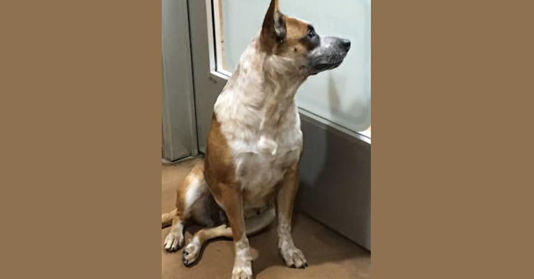 Photo of Maxie, an Australian Cattle Dog, American Pit Bull Terrier, Chow Chow, and American Staffordshire Terrier mix in Texas, USA