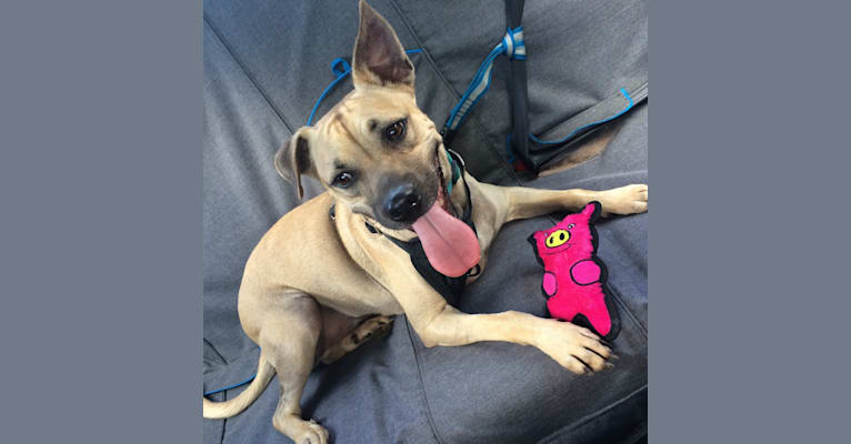 Photo of Koda, a Chihuahua, Staffordshire Terrier, and Mixed mix