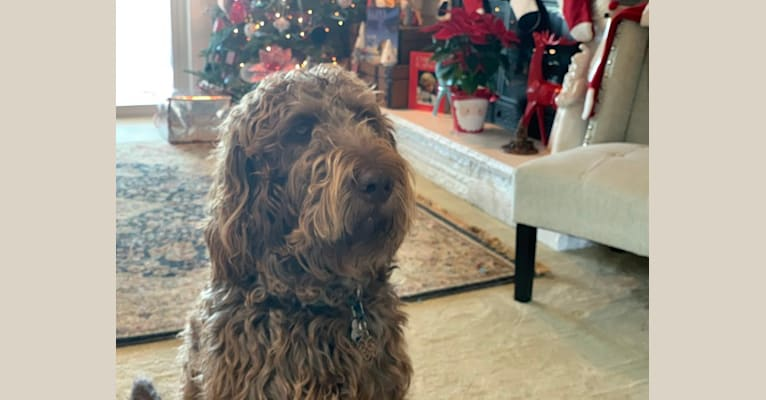 Photo of The Mighty Chewbacca, a Labradoodle (6.2% unresolved) in Wellington, Utah, USA