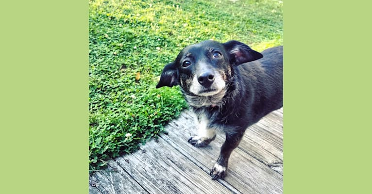 Photo of Charlea, a Poodle (Small) and Chihuahua mix in Boston, Massachusetts, USA