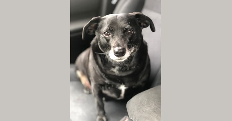 Photo of Little, a Mountain Cur, Rat Terrier, and Mixed mix in Huntsville, Alabama, USA