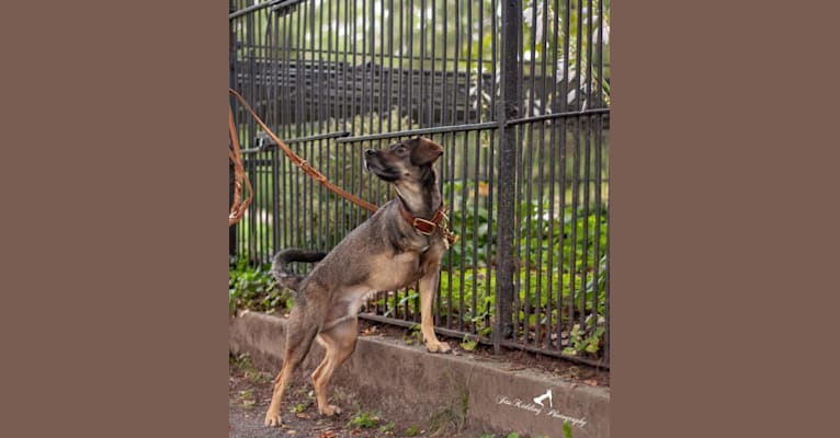 Photo of Tank, a Beagle, Labrador Retriever, German Shepherd Dog, and Mixed mix in Elkton, Virginia, USA