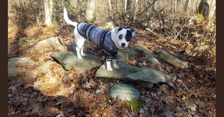 Photo of Bowie, a Rat Terrier, Shih Tzu, Chihuahua, and American Staffordshire Terrier mix in Alabama, USA