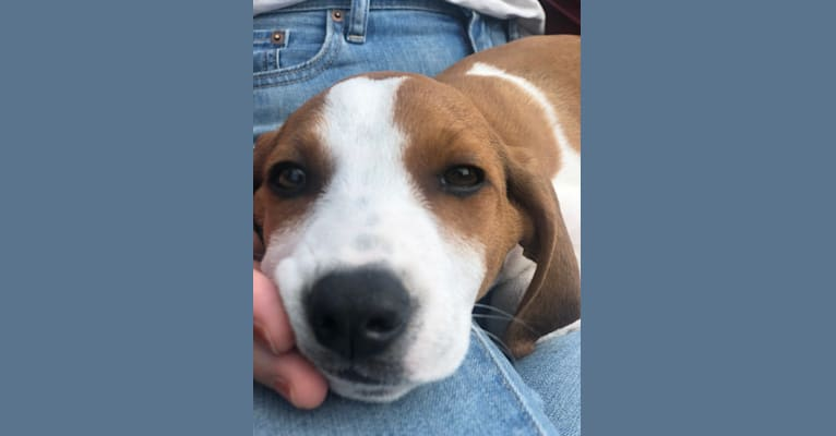 Photo of Ruthie, a Treeing Walker Coonhound  in Knoxville, TN, USA